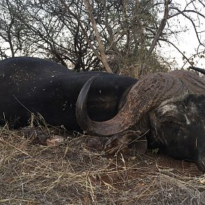 Hunting Cape Buffalo South Africa
