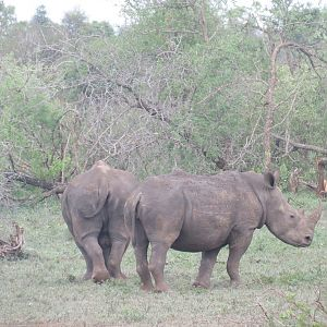 Sightseeing White Rhino Kruger National Park South Africa