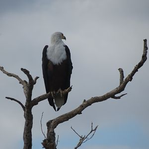 South Africa Fish Eagle Sightseeing Kruger National Park