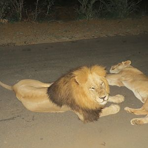 Lions Kruger National Park South Africa Sightseeing