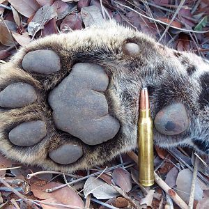 Leopard Paw with 300 Winchester Magnum