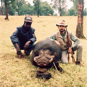 Giant Forest Hog Jibat Forest, Ethiopia
