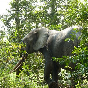 Forest bull Elephant (Loxodonta cyclotis) in the Gabonese forest