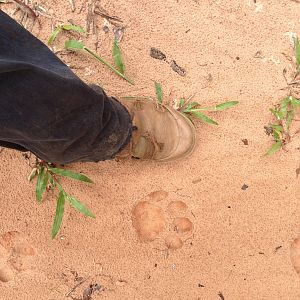 Leopard track in the Gabonese forest