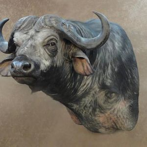 Buffalo Shoulder Mount Taxidermy