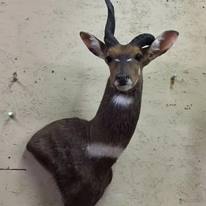 Unusual Bushbuck Shoulder Mount Taxidermy