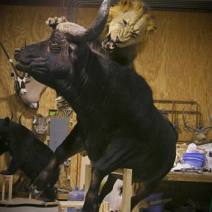 Behind The Scenes Lion & Cape Buffalo Full Mount Taxidermy