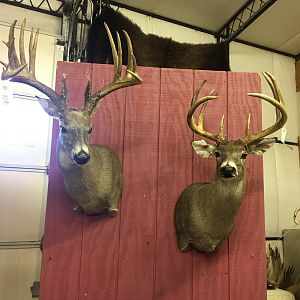 Deer Shoulder Mount Taxidermy
