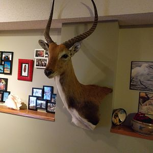 Lechwe Shoulder Mount Taxidermy