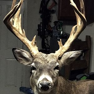 South Texas Whitetail Deer Shoulder Mount Taxidermy