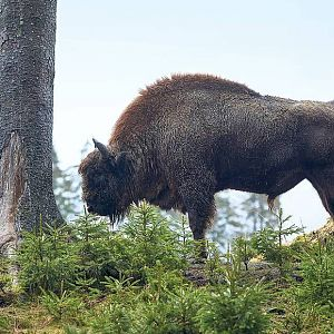 European Bison in Germany
