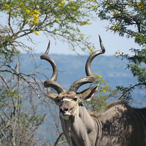 Kudu with lovely deep symmetry