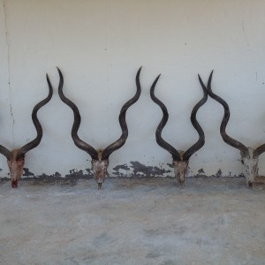 "Kudus all within 1/4"" of 54 inches"