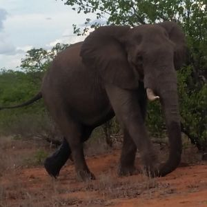 Elephant Mozambique