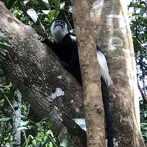 Colobus Monkey in Uganda