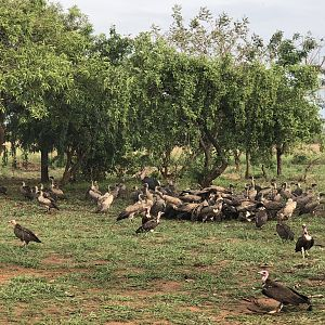 Resident group of Vultures and Maribou storks at the camp