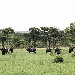 Bachelor herd of Cape Buffalo Uganda