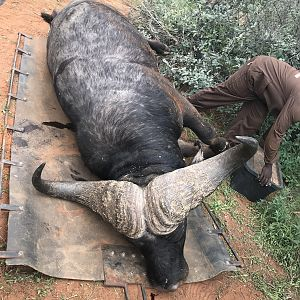 South Africa Bow Hunt Cape Buffalo