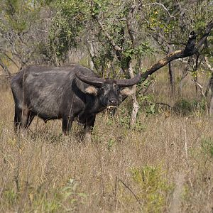 Asiatic Water Buffalo Arnhemland Australia