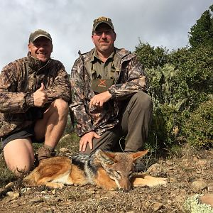 South Africa Hunting Jackal