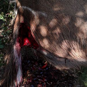 Wounded Kudu killed during the night by a Leopard