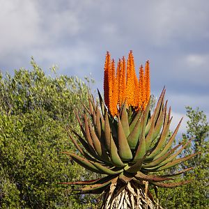 Mountain Aloe (Aloe Littoralis) South Africa
