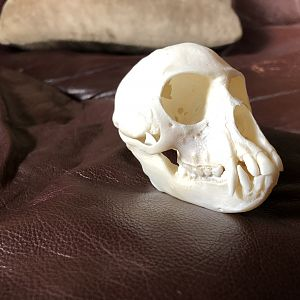 Vervet Monkey European Skull Mount