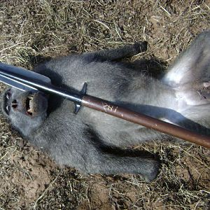 Baboon Spear Hunt South Africa