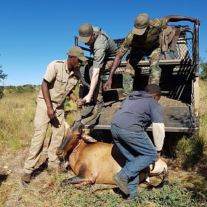Hunt Red Hartebeest in Namibia