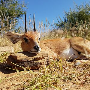 Steenbok Hunting in Namibia