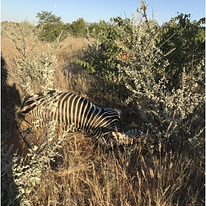Hartmann's Mountain Zebra Bow Hunt in Namibia