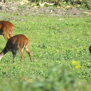 Bushbuck Ewe's & Youngsters South Africa