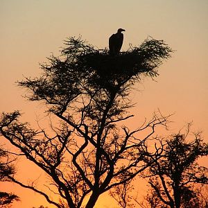 Vulture in top of tree in the sunset