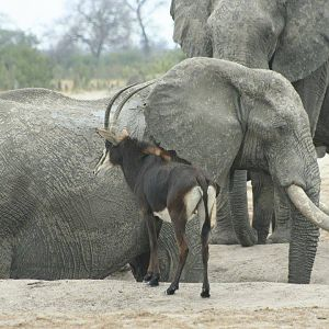 Sable Antelope & Elephant in Zimbabwe
