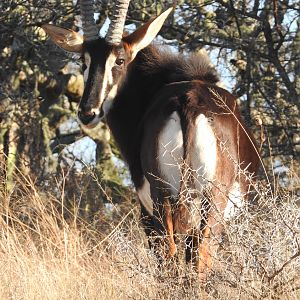 Sable Antelope South Africa