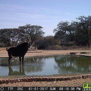 South Africa Trail Cam Pictures Sable