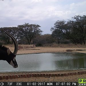 Trail Cam Pictures of Sable Antelope in South Africa