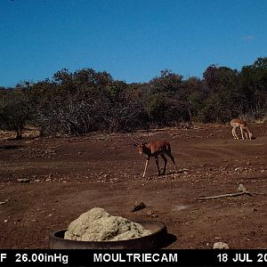 South Africa Trail Cam Pictures Impala