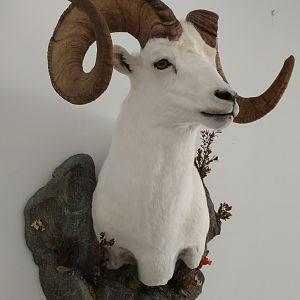 Dall's Sheep Shoulder Mount Taxidermy