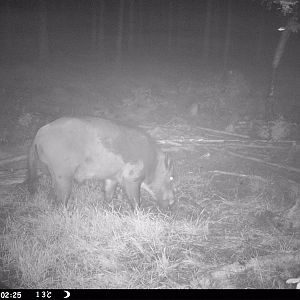 Trail Cam Pictures of Boar in Sweden