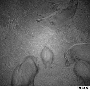 Bushpigs Trail Cam Pictures South Africa