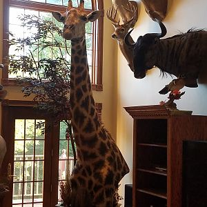 Giraffe,  White Tail Deer,  Blue Wildebeest Shoulder Mount Taxidermy