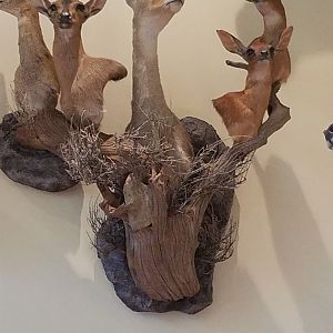 Klipspringer,  Duiker,  Grey Rhebok,  Steenbok Shoulder Mount Taxidermy