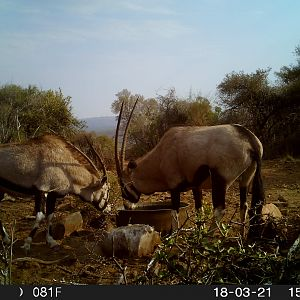 Gemsbok Trail Cam Pictures South Africa