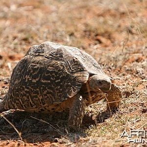 One of several tortises we saw, South Africa