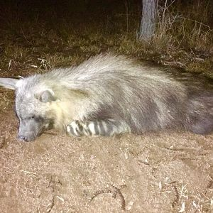 South Africa Hunt Brown Hyena