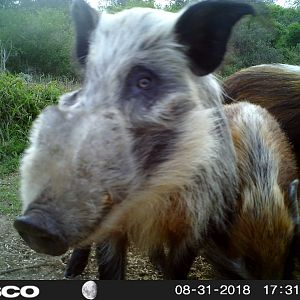 South Africa Bushpig