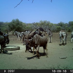 South Africa Trail Cam Pictures Blue Wildebeest & Burchell's Plain Zebra