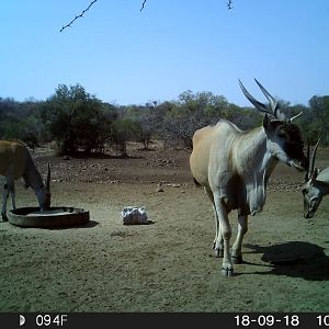 Trail Cam Pictures of Eland in South Africa