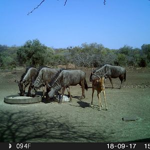 Impala & Blue Wildebeest Trail Cam Pictures South Africa
